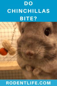 Do Chinchillas Bite?