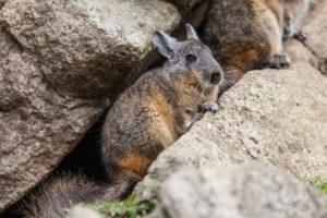 a wild chinchilla on rocks
