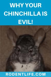 How Friendly Are Chinchillas?