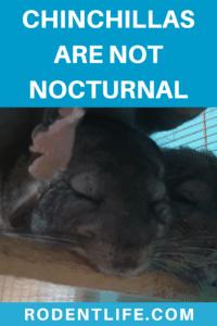 Are chinchillas nocturnal?