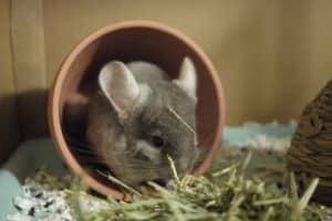 a pet chinchilla, how long do chinchillas live?