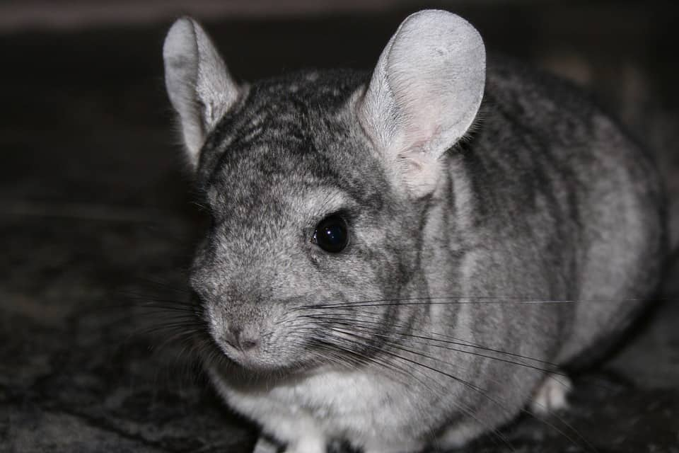 a grey chinchilla with big ears