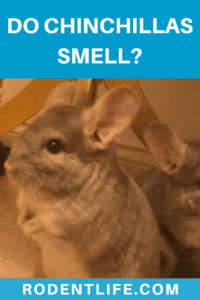 Do chinchillas smell?