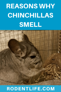 Do Chinchillas Smell? The Reasons Why Your Chinchilla Smells