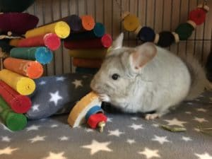 a chinchilla nibbling a chew toy
