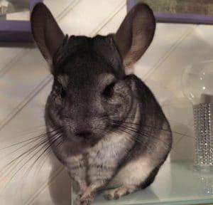 a pet chinchilla