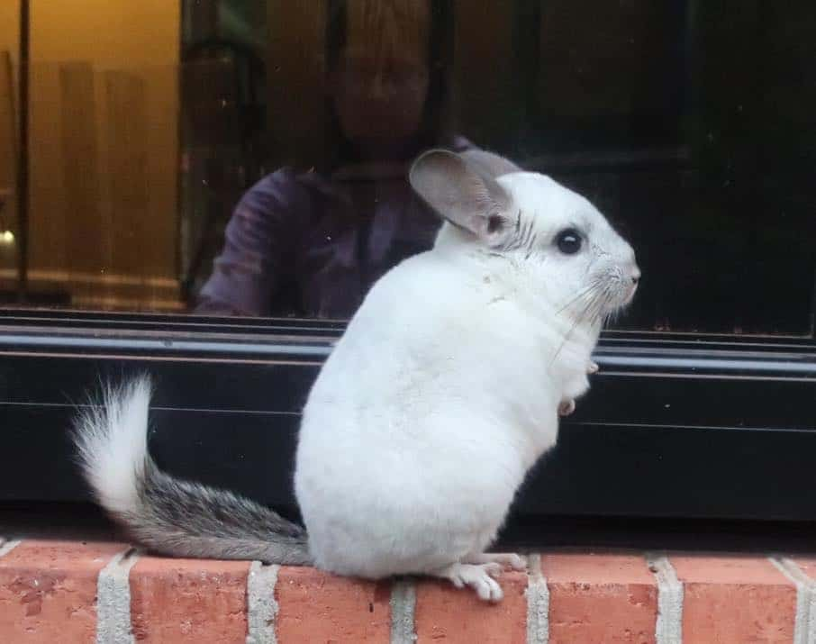 a chinchilla outside