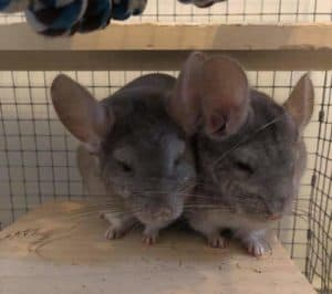 two chinchillas inside a wooden cage