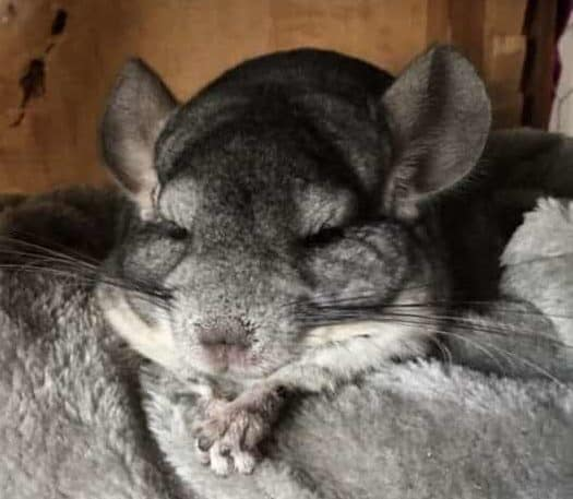 a chinchilla inside a cage lying on a blanket