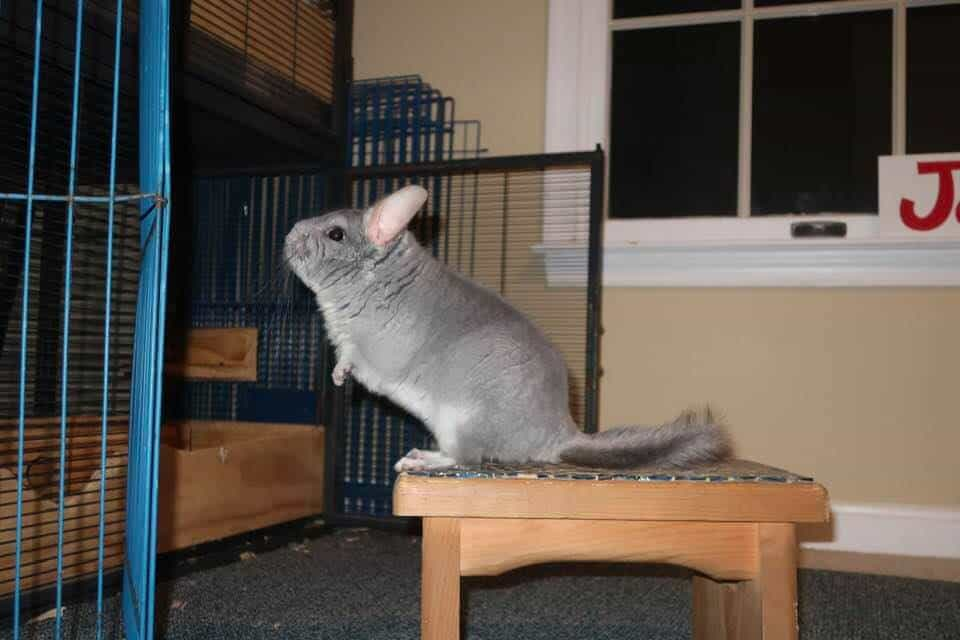 a pet chinchilla