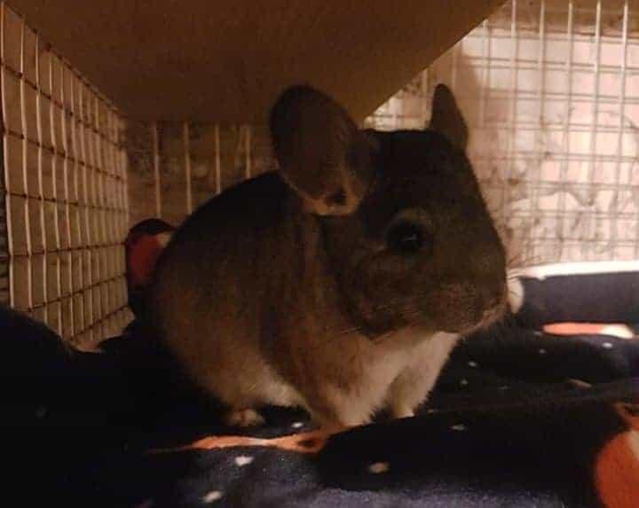 a chinchilla inside a cage