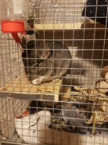 chinchilla inside a large cage