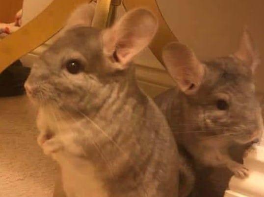 two chinchillas