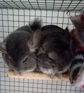 two chinchillas in a cage