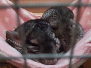 two chinchillas cuddling in a blanket