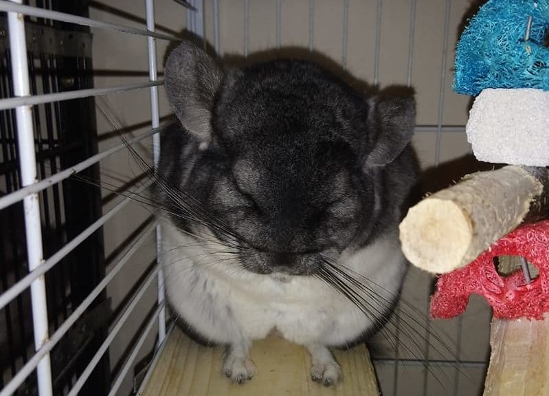 Chinchilla in their cage