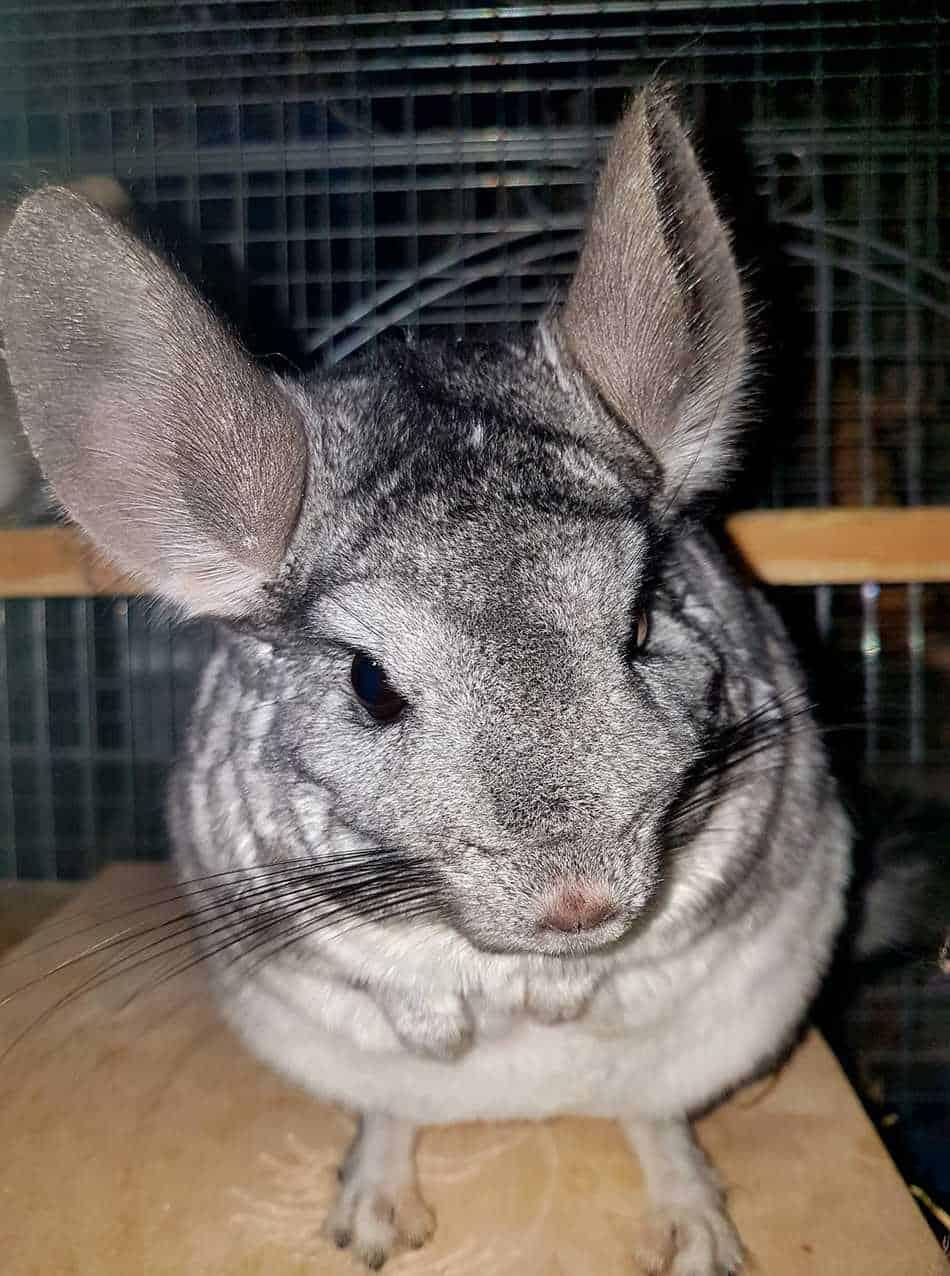 Cute Chinchilla Grey