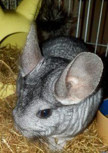 HQ Grey Chinchilla in cage