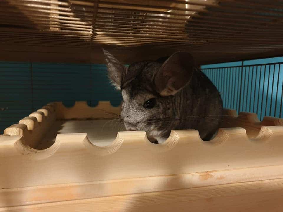 Sweet chinchilla inside their cage