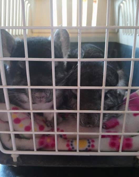 Two cute chinchillas in a carry cage