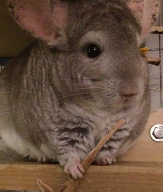 a chinchilla holding wood while on a wooden ledge