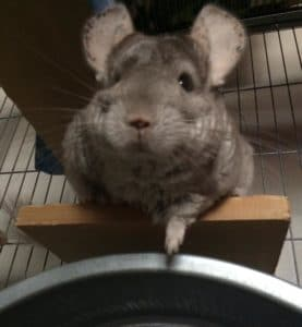 pet chinchilla on a ledge in their cage