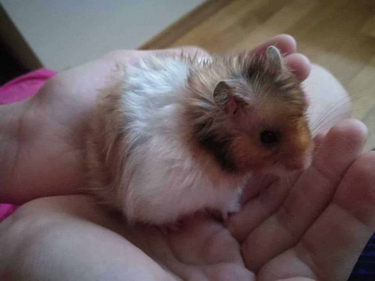 A person holding a hamster