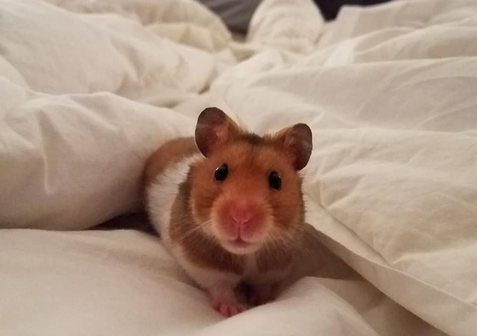 Do Hamsters Shed? Hair Loss, Bald Spots and Treatment