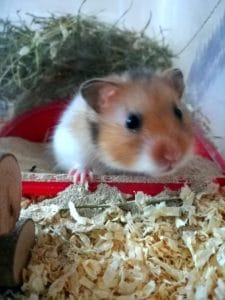 Cute Hamster in cage