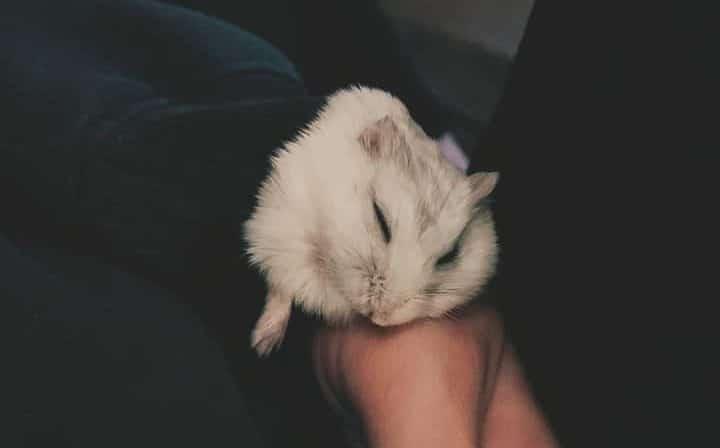 Hamster Napping