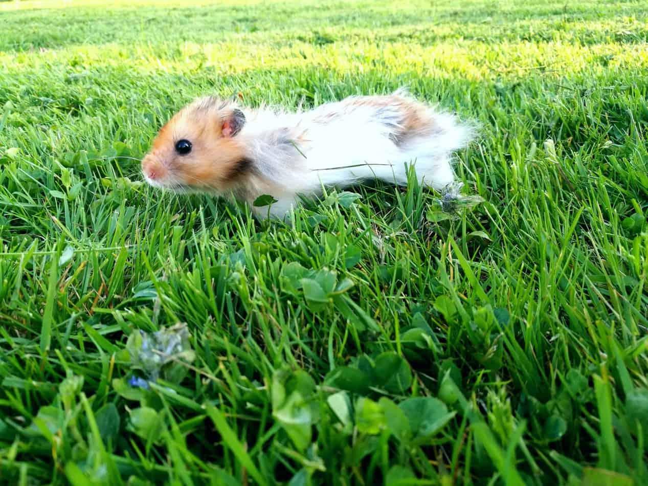Hamster Outside