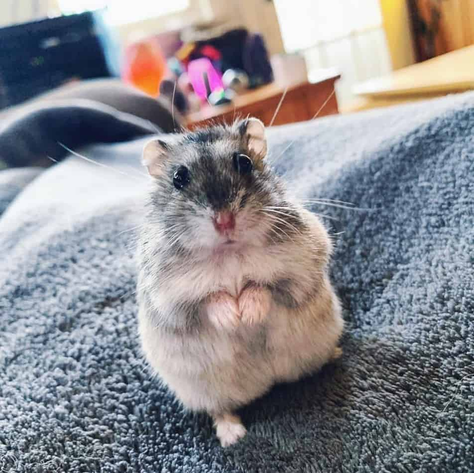15 Reasons Why Hamsters Are Good Pets – Rodent Life