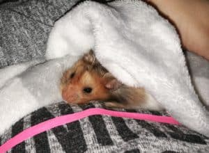 Hamster being cuddled