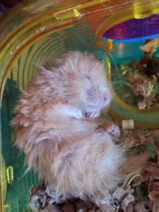 Hamster curled up
