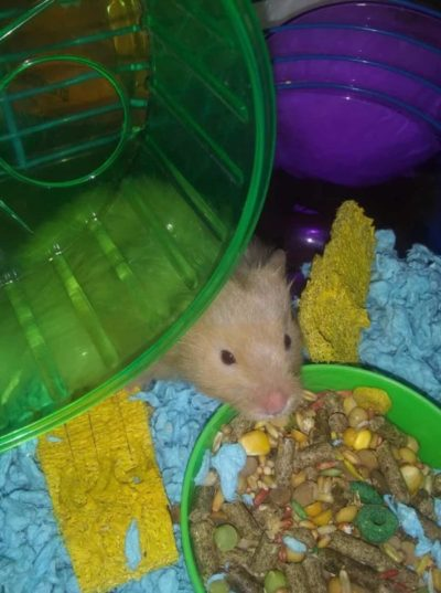 Hamster eating in their cage with a wheel
