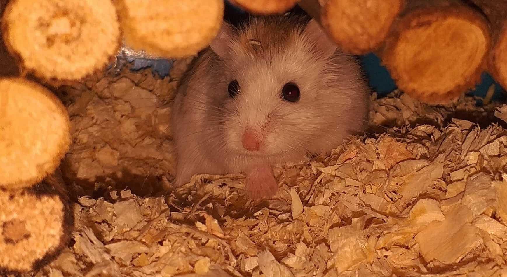 Hamster inside cage
