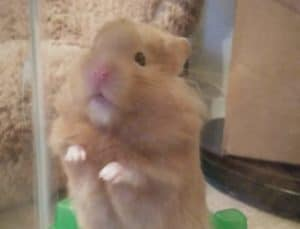 Hamster standing up on its two feet