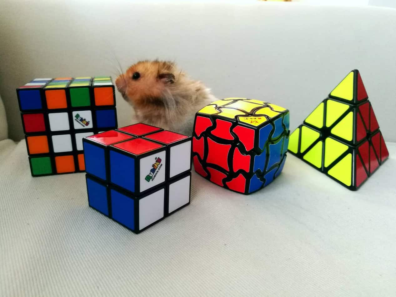Hamster with Rubix Cubes