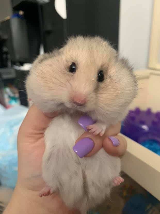 Hamster with stuffed cheeks