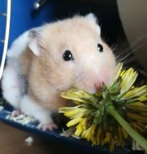 Isobel G Hamster Eating
