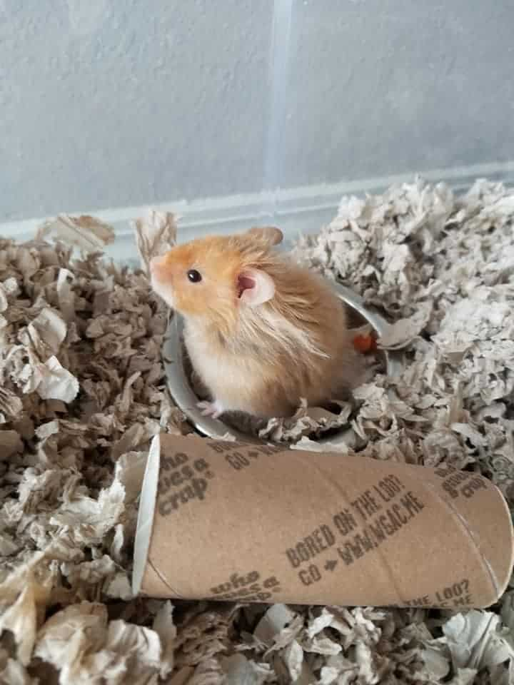 Theo The Hamster