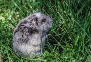 Wild Hamster