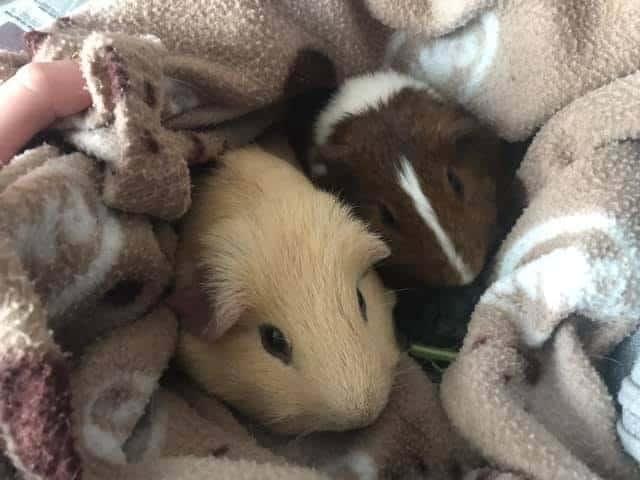 2 Guinea Pigs in Blanket