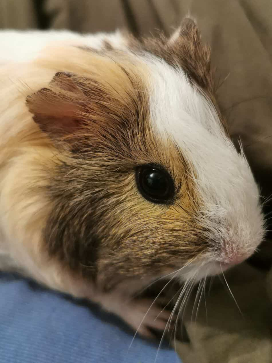 Close up of a Guinea Pig