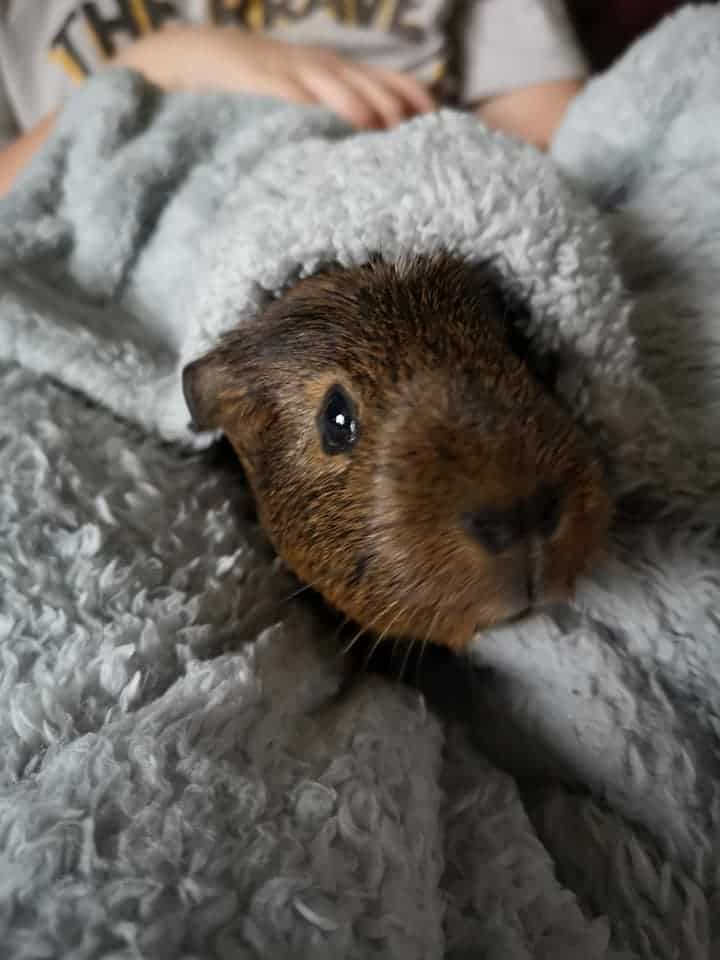 Guinea Pig in Covers