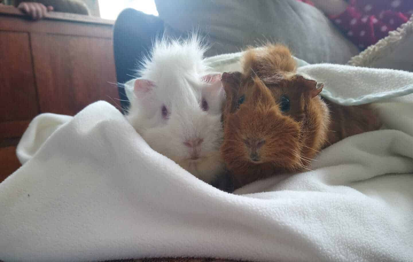 Guinea Pigs Watching TV
