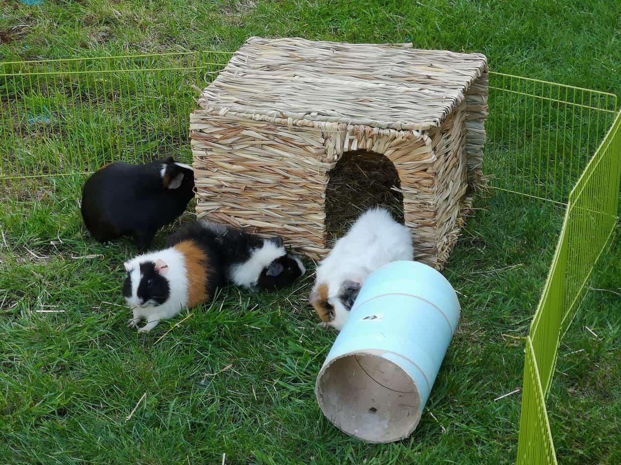 Guinea Pigs outside