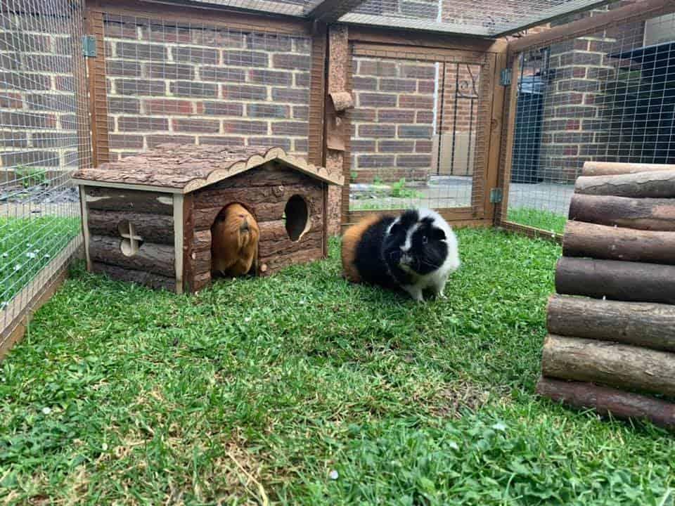 Outdoor Guinea Pig Run