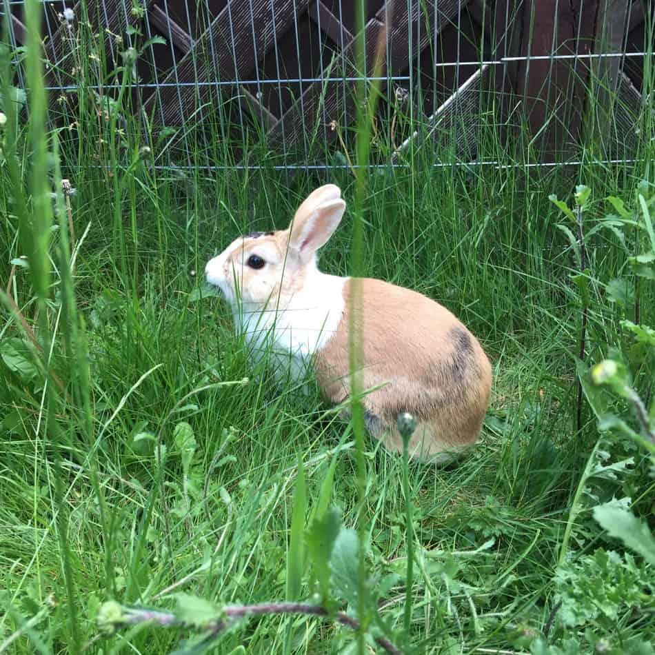 Outdoor rabbit