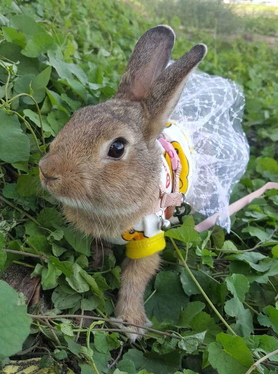 Outdoor rabbit on leash